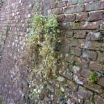 12. achterkant muur muurleeuwenbek